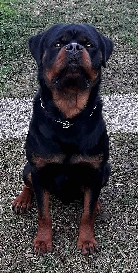 Maik Buoso da Dovara - Rottweiler Maschio